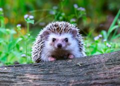 hedgehog featured image